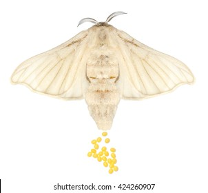 Silkmoth (Bombyx mori) female and egg-laying isolated on a white background