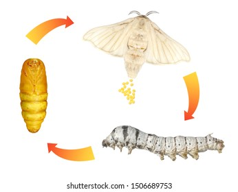 Silkmoth, Bombyx mori (Lepidoptera: Bombycidae). Life cycle. Isolated on a white background