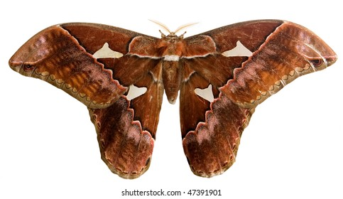 silkmoth with clipping path