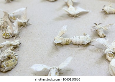 Silkworm butterflies mating for hybridize over brown paper