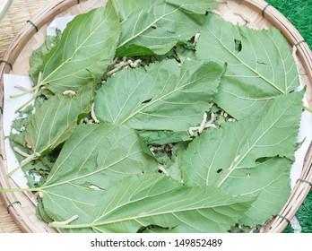 silkworm eating mulberry green leaf in flatten bamboo basket