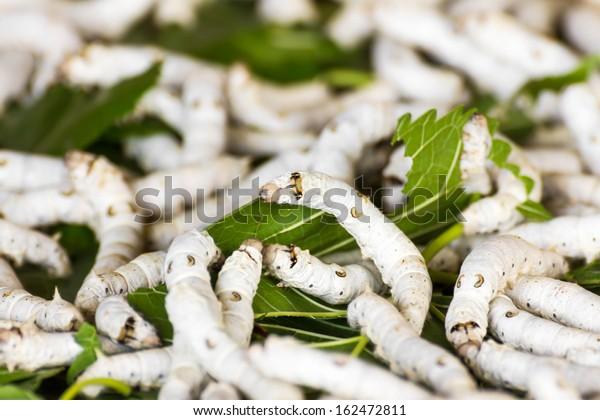 Silkworm eating mulberry green leaf in farm
