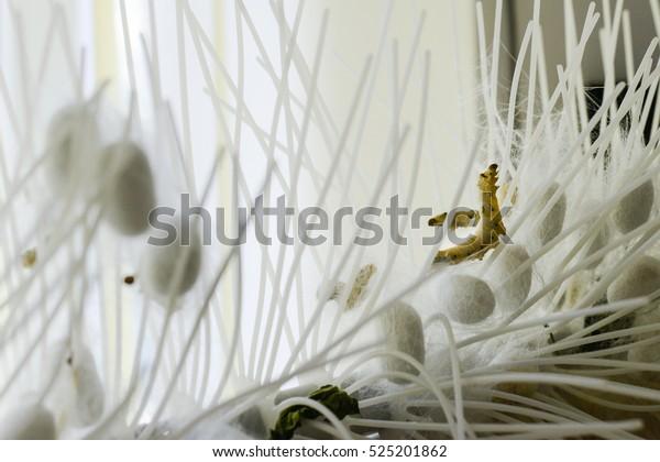 silkworm larvae building the silk cocoon