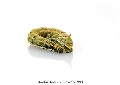 Silkworm moth larvae on a white background