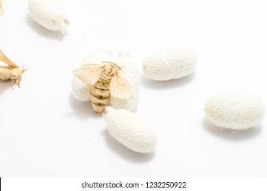 silkworm moth with Silk Cocoon isolated on white background