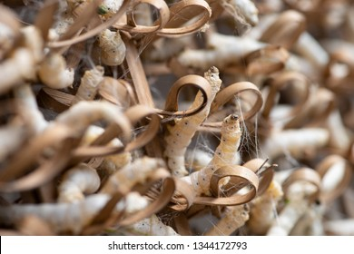 Silkworms are cocooning. Cocoons are the raw material for silk
