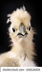 Silky chick portrait on black background