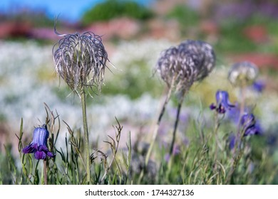 Silky, feathery, light-catching, wispy flower seedheads with little purple bellflowers and soft focus background.