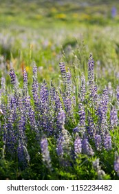 Silky Lupine flowers at Albion Basin, Little Cottonwood Canyon, Utah USA during summer.