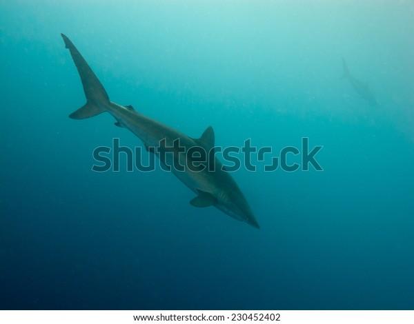 Silky shark (Carcharhinus falciformis)