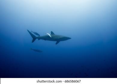 Silky Shark Malpelo