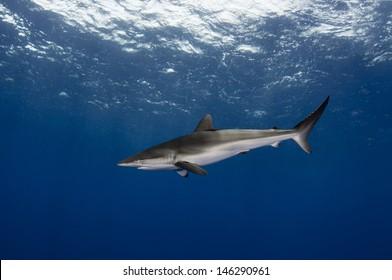 Silky shark in the open ocean