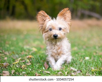 A Silky Terrier/Yorkie mixed breed dog outdoors