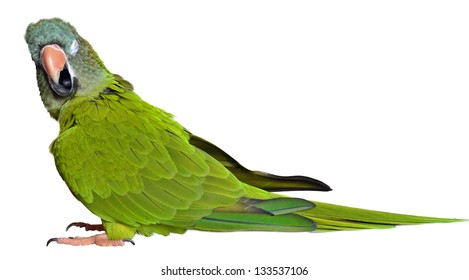 Silly Blue Crown Conure