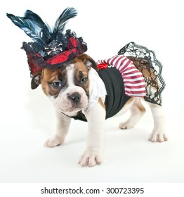 Silly Bulldog puppy dressed up like a pirate wench on a white background.