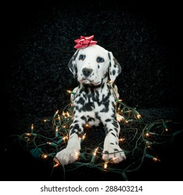 Silly Dalmatian puppy tangled in Christmas lights with a red bow on his head. Along with copy space.