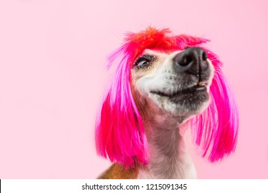 Silly dog portrait in pink wig. Lovely dog face with happy smile. stoned grin