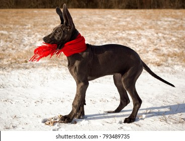 A silly great Dane puppy wearing a red scarf stands in snow with her ears straight up in the air
