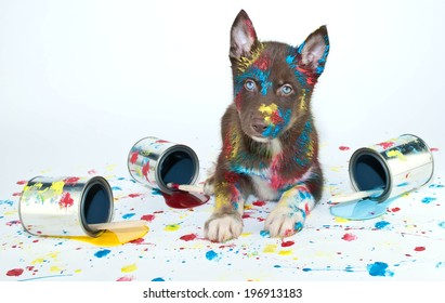 Silly Husky puppy that looks like he got into a bunch of paint cans and made himself a mess.