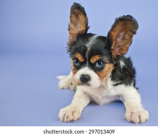 Silly King Charles Cavalier puppy with her ears standing straight up and a mad look on her face with copy space.