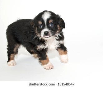 Silly little black and white puppy sticking out his tongue, on a white background.