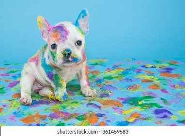 Silly little French Bulldog that looks like she got into the art teachers paint supplies, on a blue background with copy space.