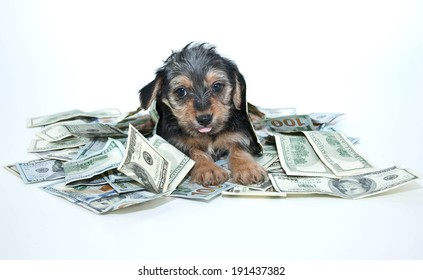 Silly Morkie puppy sticking out his tongue while laying in a pile of one hundred dollar bills.