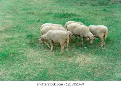 Silly sheeps standing in grass and eating grass