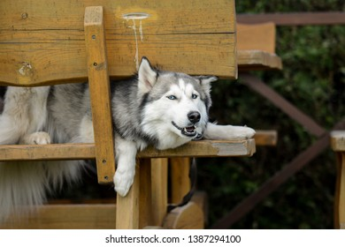 Silly young husky stuck on the bench in summerhouse