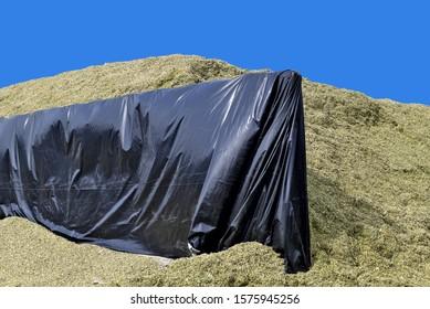 Silo trench with fresh corn silo.