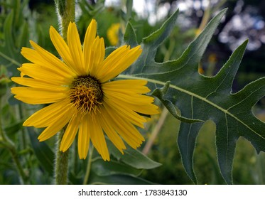 Silphium laciniatum is a species of flowering plant in the aster family known commonly as compassplant or compass plant. It is native to North America