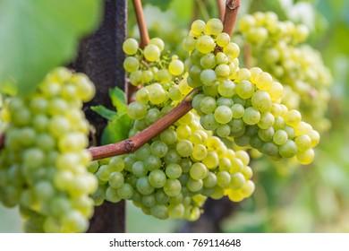 Silvaner grapes grow and mature