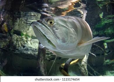 Silver arawana fish underwater portrait close up