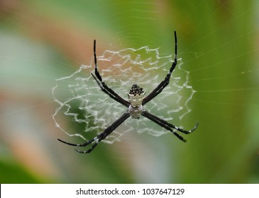 Silver Argiope Spider, Argiope argentata, working on its web on one of the Caribbean coast islands off Bocas del Toro, Panama.  Harmless, it is known also as a wasp and silver garden orb-weave spider.