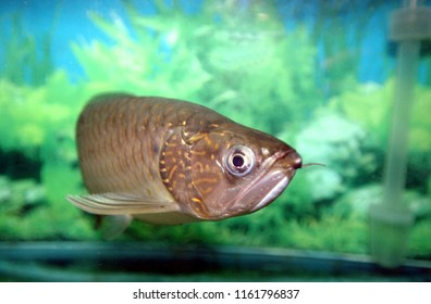Silver arowana fish (scleropages aureus) have a green background