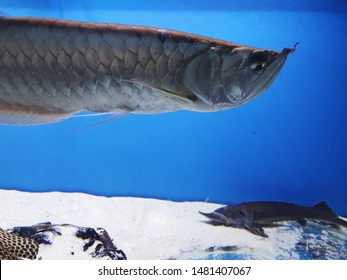 Silver Arowana Fish Swimming in the Aquarium,  Freshwater Bony Fish on Blue Background, Solitary Fish, Concept of Arrogance , Pride, Disregard, Phlegm or Indifference
