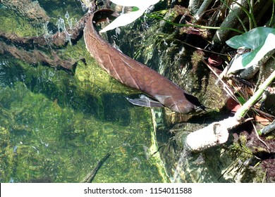 Silver Arowana in freshwater aquarium, selective focus.