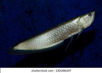 Silver Arowana freshwater bonytongue fish from the Amazon river swimming in an aquarium