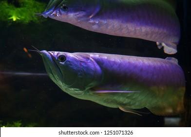 Silver Arowana or Osteoglossum bicirrhosum fish