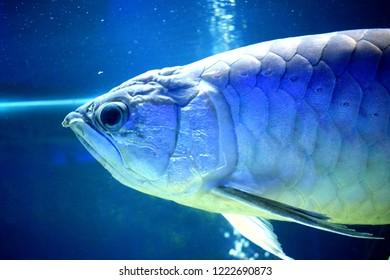 The silver arowana (Osteoglossum bicirrhosum), sometimes spelled arawana, is a South American freshwater bony fish of the family Osteoglossidae