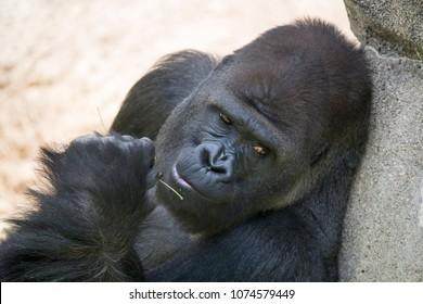 Silver Back Gorilla portrait