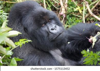 Silver back Gorilla portrait Rwanda park