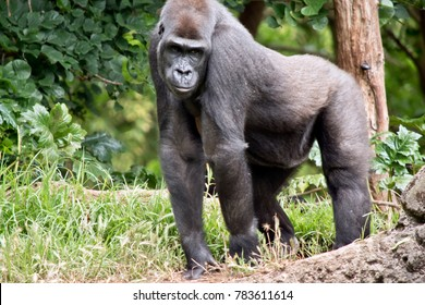 the silver back gorilla is walking slowly on all four legs