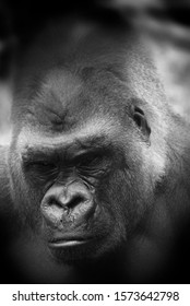 Silver back gorillas are ground-dwelling, predominantly herbivorous apes that inhabit the forests of central Africa. The DNA of gorillas is highly similar to that of humans, from 95–99%