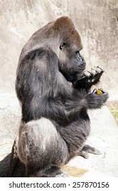 Silver backed gorilla particularly concerned with his finger nails