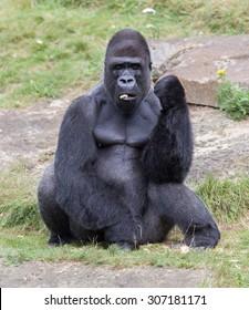 Silver backed male Gorilla, enjoying some fruit