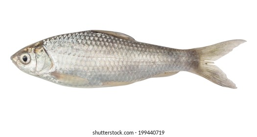 Silver barb or Java barb isolated on a white background