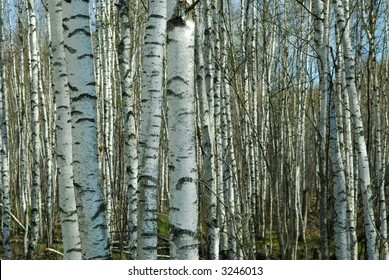 A silver birch