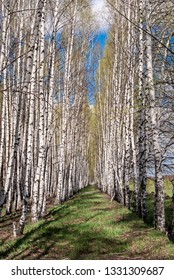 Silver Birch (Betula pendula) in deciduous forest, Central Russia