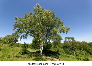 Silver Birch - Betula pendula Tree in early summer